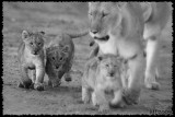 Africa in Black and White -  Lion and Cub
