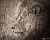 Africa in Black and White - Lion wake up (Or Clarence :=)