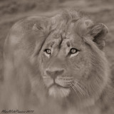 The King (0244) (Lion) B&W