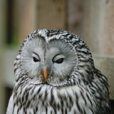 Chouette rayee  (Barred Owl) (captive)