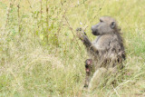 Kruger - Baboon (Mother and kid)