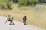 Kruger - baboon and baby