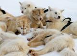 Artic sled dog team