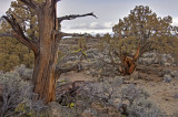 Badlands junipers