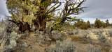 more junipers
