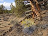 juniper / rabbit brush / fall in the badlands