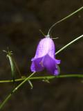 Campanula Cochlearifolia