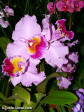 Oncidium Cattleya