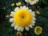 Chrysanthemum White Daisy