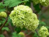 Hydrangea Baby Green