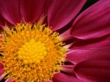 Argyranthemum Gypsy Rose
