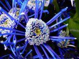 Chrysanthemum spider
