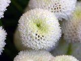 Chrysanthemum White Pom Pom