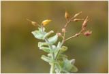 Moerashertshooi - Hypericum elodes