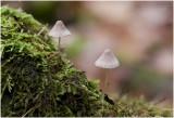 Helmycena - Mycena galericulata