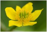 gewone Dotterbloem - Caltha palustris