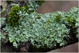 Rijpschildmos - Punctelia ulophylla