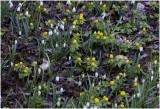 Winterakoniet - Eranthus hyemalis en gewoon Sneeuwklokje - Galanthus nivalis
