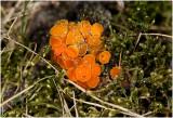 klein oranje Zandschijfje - Byssonnectria aggregata
