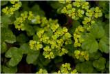 verspreidbladig Goudveil - Chrysosplenium alternifolium