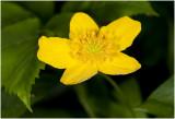 gele Anemoon - Anemone ranunculoides
