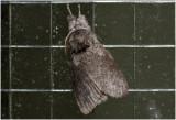 Meriansborstel  - Calliteara pudibunda