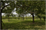 Gronsveld - hoog zomer - de pruimen zijn rijp !