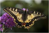 2 Koninginnepage - Papilio machaon