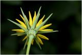 gele Morgenster - Tragopogon pratensis