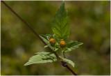 zwart Tandzaad - Bidens frondosa