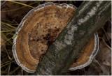 Roodporiehoutzwam - Daedaleopsis confragosa