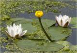 gele Plomp - Nuphar lutea  & witte Waterlelie - Nymphaea alba