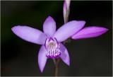 Bletilla Orchidee