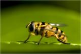 Doodshoofdzweefvlieg - Myathropa florea