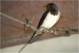 Huiszwaluw - Hirondelle de Fenetre