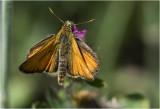 Geelsprietdikkopje -Thymelicus sylvestris