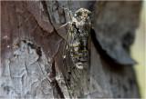 de Krekel - La cigale - Cicada orni