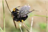 Dolkwesp - Megascolia maculata maculata - vrouwtje - female