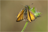 Zwartsprietdikkopje -Thymelicus lineola