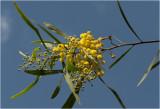 Mimosa - Acacia dealbata - Gaulois Astier