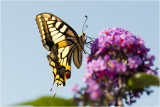 3 Koninginnepage - Papilio machaon