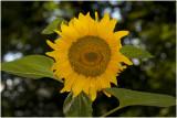 Zonnebloem - Helianthus annuus