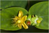 Hertshooi - Hypericum adrosaemum
