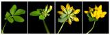 Moerasrolklaver - Lotus pedunculatus