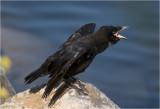 jonge zwarte Kraai - Corvus corone