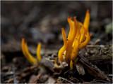kleverig Koraalzwammetje - Calocera viscosa
