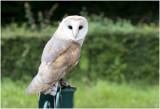kerkuil -Tyto alba GALLERY