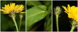 echt Bitterkruid - Picris hieracioides