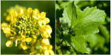 witte Mosterd - Sinapis alba