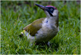 Groene specht GALLERY - the green Woodpecker